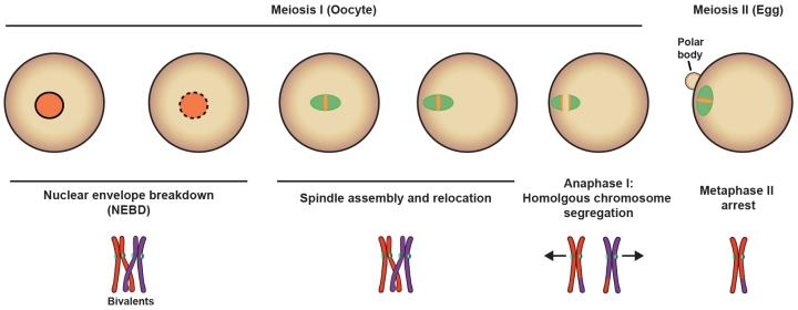 Meiosis-Part I