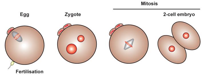 Embryo Mitosis-01