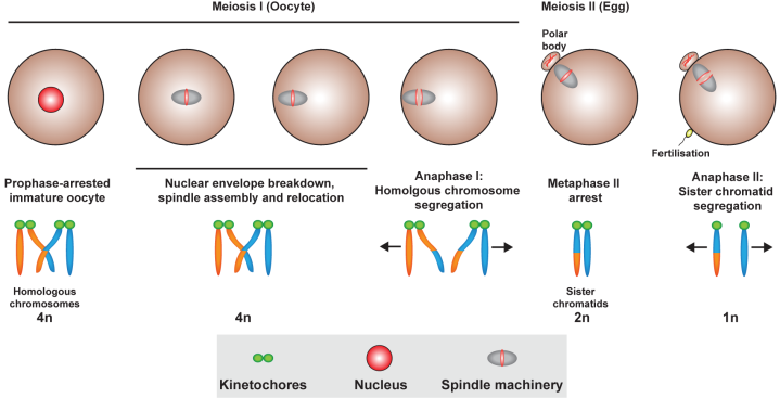Meiosis-New Form_Webpage-01